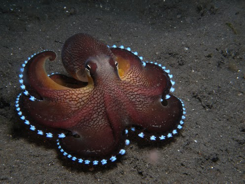 coconut_octopus